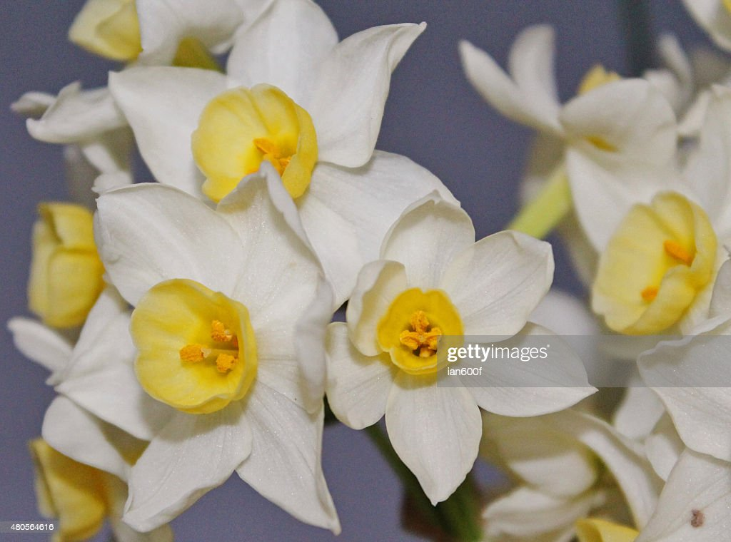 Close up of Daffodil heads. : Stock Photo