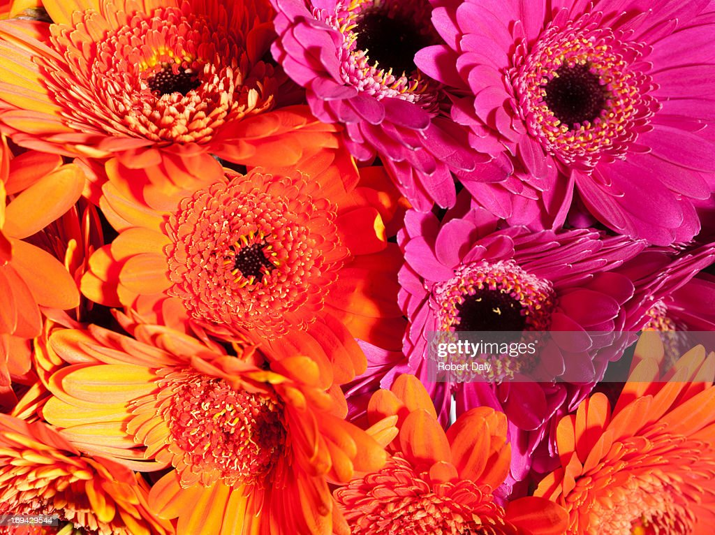 Close up of daisies : Stock Photo