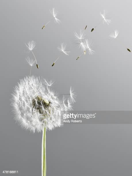 Gros plan de souffler de pissenlit dans le vent