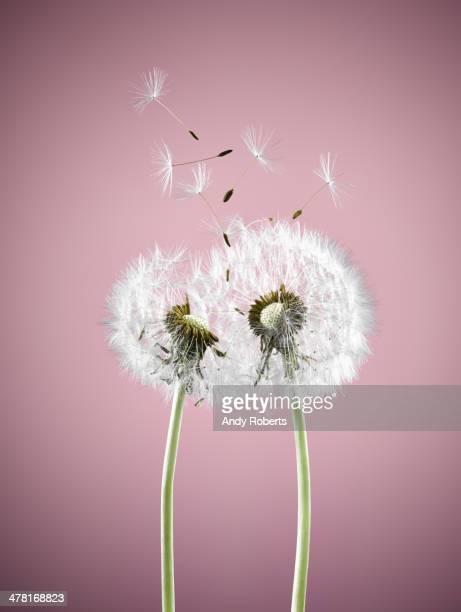 Gros plan des plantes dans le vent souffle pissenlit