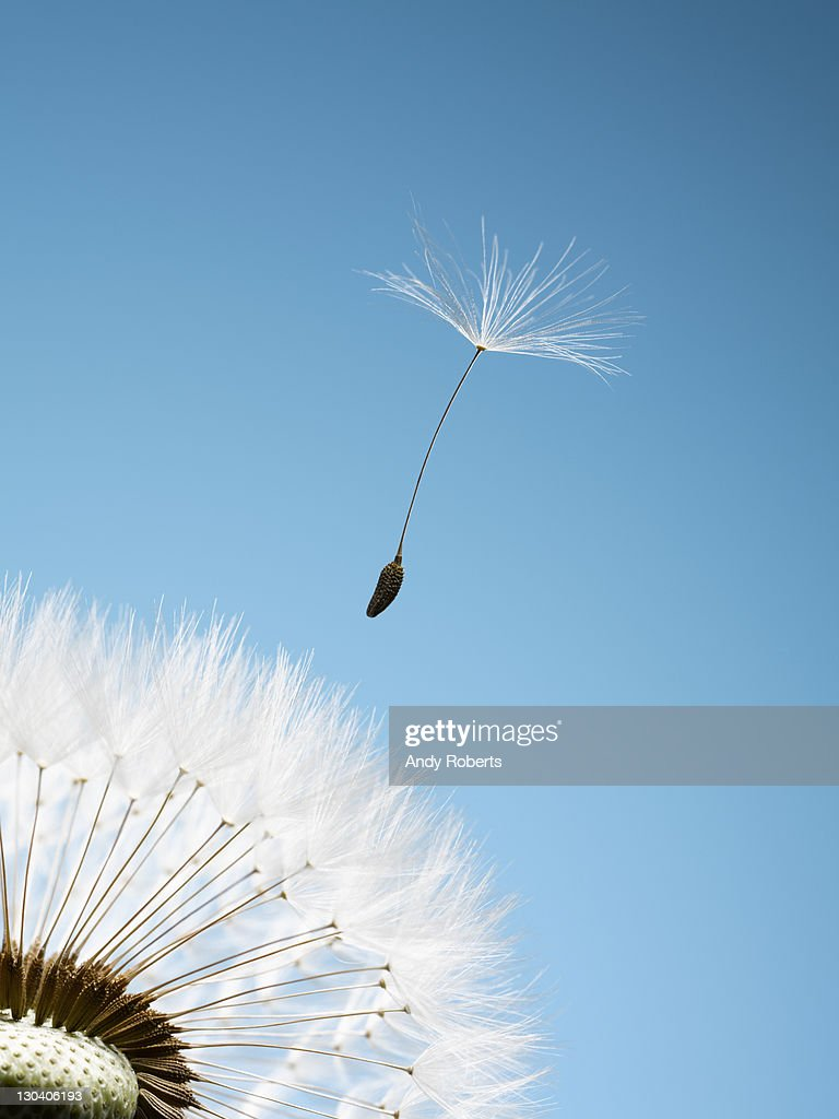 Close up of dandelion spore blowing away : Stock Photo