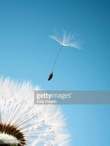 Close up of dandelion spore blowing away