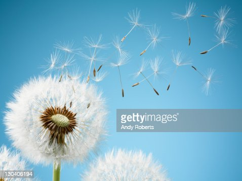 Close up of dandelion spores blowing away : Stock Photo