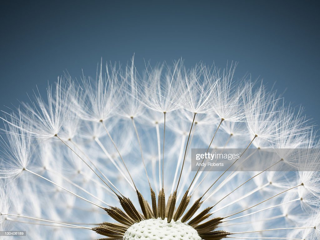 Close up of dandelion spores : Stock Photo