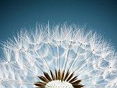 Close up of dandelion spores