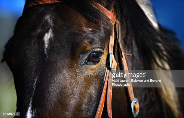 Close up of Dark Bay Colored Horse in Central California