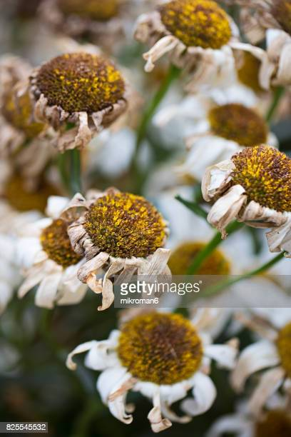 Close up of decayed flowers - oxeye daisy