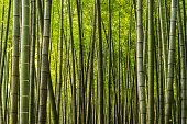 Close up of densely growing giant bamboo