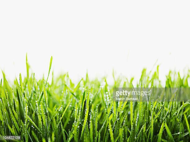 Nahaufnahme von TAU Tropfen auf Gras