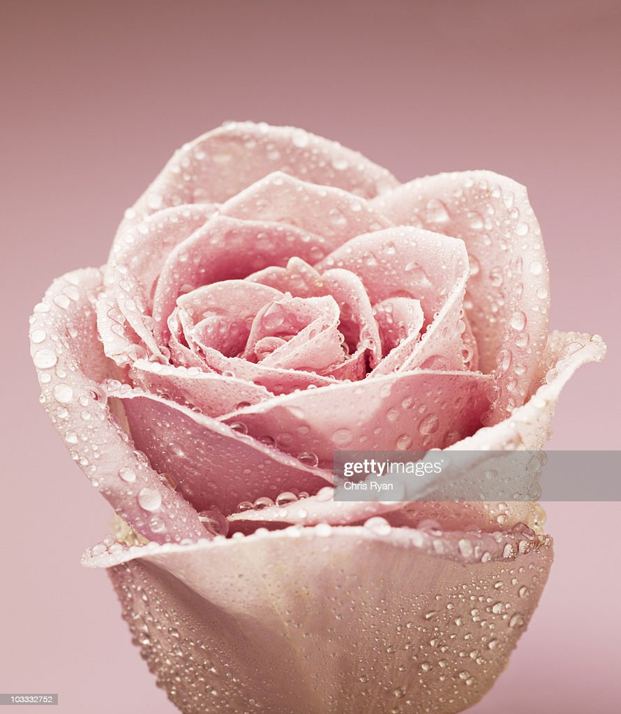 Close up of dew droplets on pink rose : Stock Photo