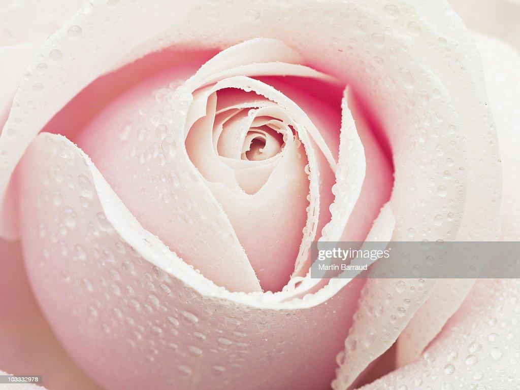 Close up of dew droplets on pink rose