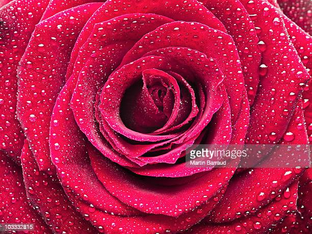 Close up of dew droplets on red rose