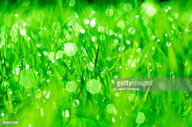 Close up of dew drops on lush blades of grass