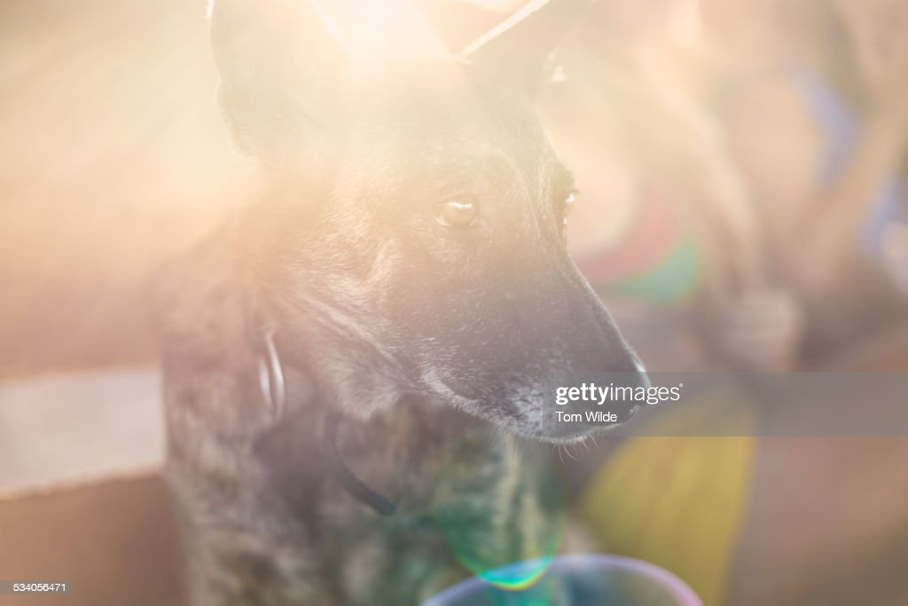 Close up of dog with the sun flaring on his face : Stock Photo