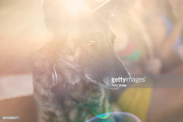 Close up of dog with the sun flaring on his face