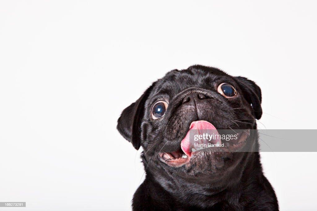 Close up of dog's panting face : Stock Photo