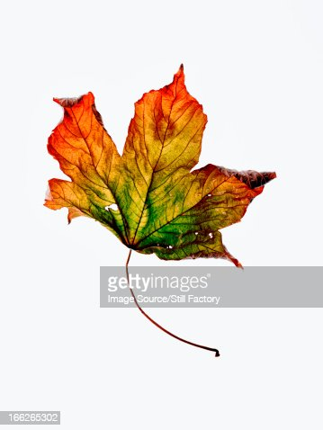 Close up of dried autumn leaf