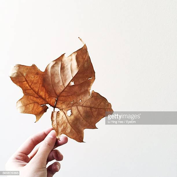 Close Up Of Dry Leaf In Womans Hand