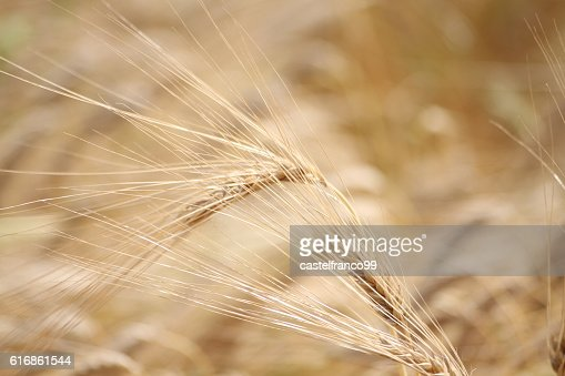 Close up of ears of Rye : Stock Photo