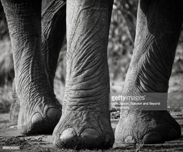 Close Up of Elephant Legs and Feet in Laikipia, Kenya