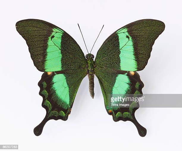 Close up of Emerald Swallowtail butterfly