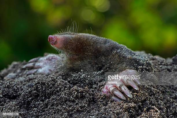 Close up of European mole emerging from molehil and showing large spadelike forepaws with huge claws