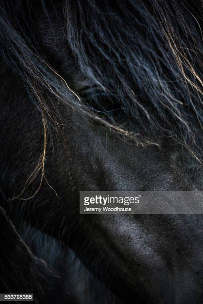 Close up of face of Icelandic horse
