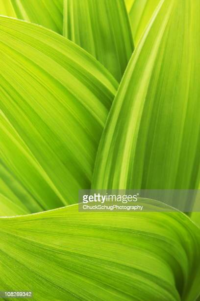 Close -up of False Hellebore Veratrum Viride plant leaves