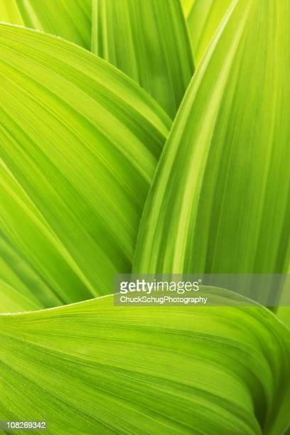バイケイソウ Veratrum viride 植物の葉