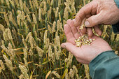 Close up of farmer holding wheat grains