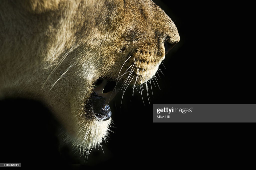 Close up of Female African Lion with mouth open : Stock Photo