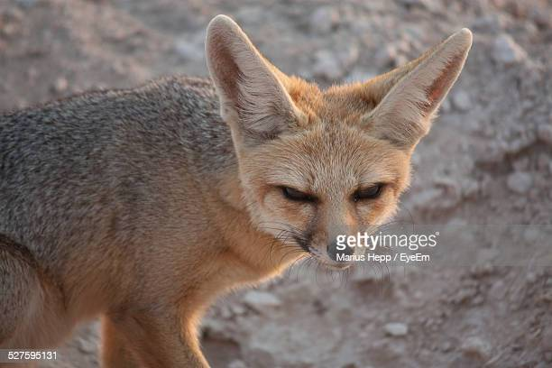 Close Up Of Fennec Fox