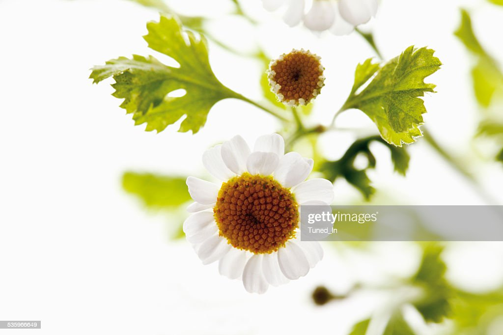 Close up of feverfew against white background : Stock Photo