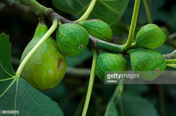Close up of figs ripening on common fig tree