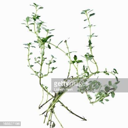 Close up of flower stalks