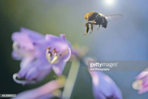 Close up of flying bee