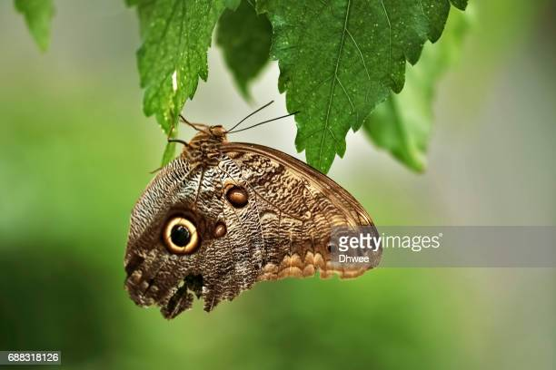 Close Up Of Forest Giant Owl  or Caligo Eurilochus Butterfly