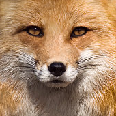 Close up of Fox face