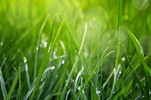 Close Up Of Fresh Grass With Water Drops In The Early Morning