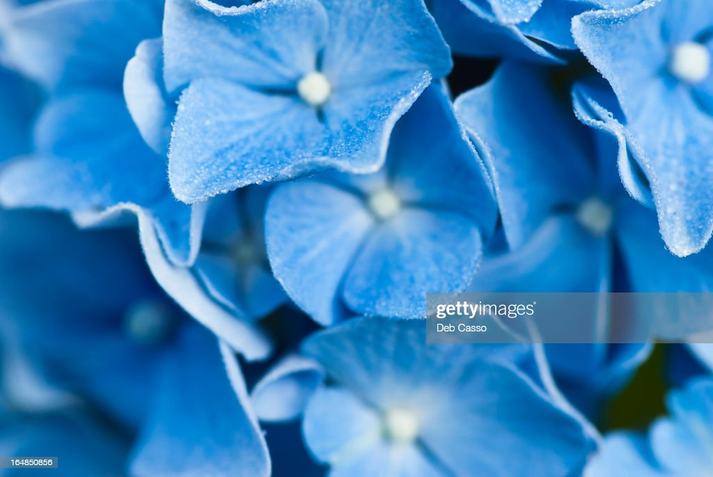 Close up of frosty hydrangea flowers : Stock Photo