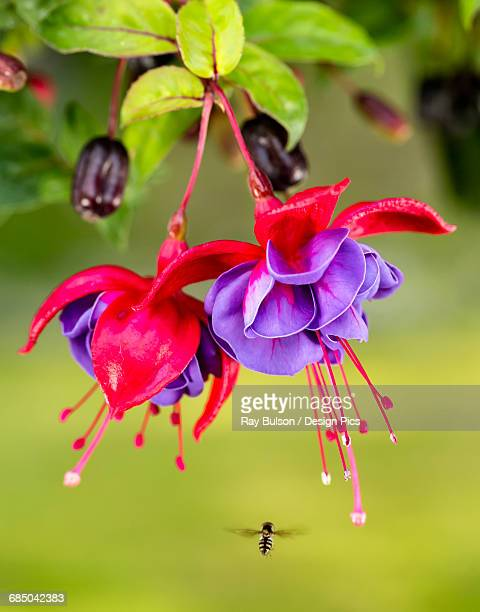 Close up of fuchsia and insect in garden