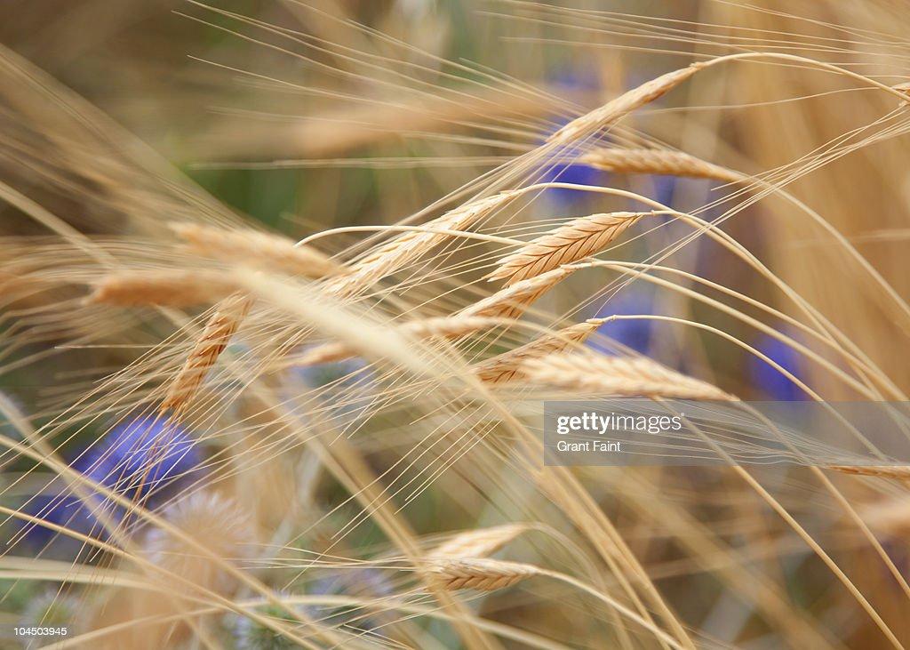 Close up of grain crop. : Stock Photo