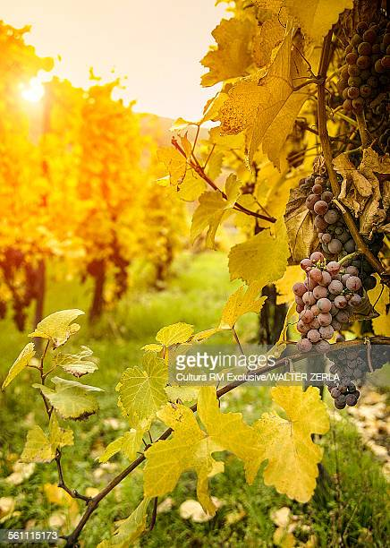 Close up of grapes and autumn vines on route des vins dAlsace, France