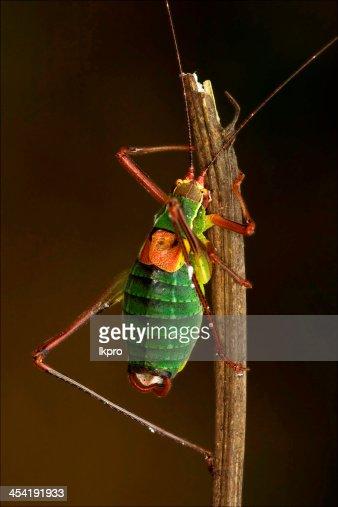 close up of grasshopper Orthopterous Tettigoniidae on : Stock Photo