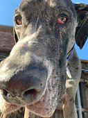 Close up of black, grey, and white Merle Great Dane puppy snout with whiskers and sad eyes