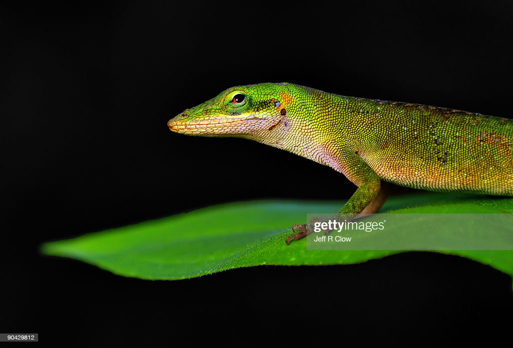 Close up of Green Anole