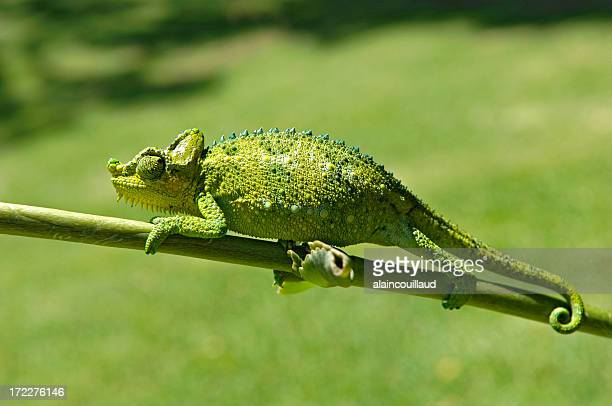 Close up of green chameleon on stem