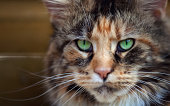 Close Up of green Eyed Maine Coon Cat