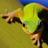Close up of  green gecko