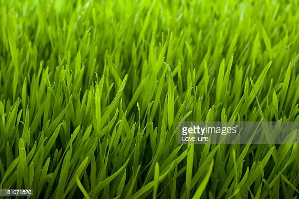 Close up of green grass background